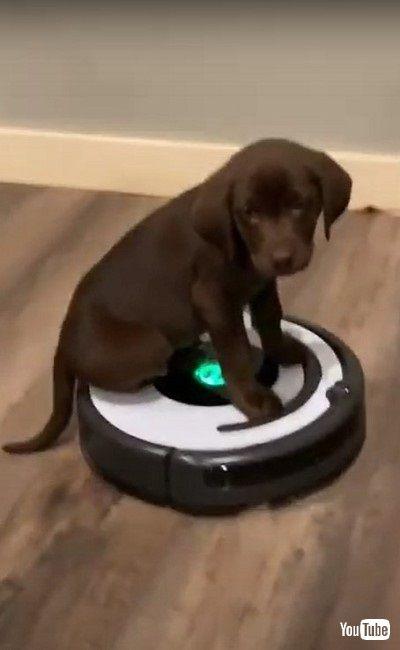 ルンバに乗る子犬