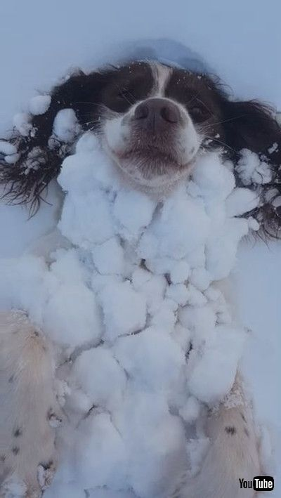 Springer Spaniel Becomes One with the Snow || ViralHog