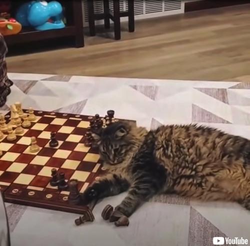 チェスの相手をする猫ちゃん
