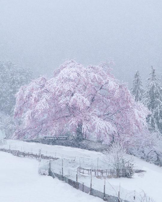 桜 雪 コラボ 写真