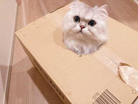 猫 ダンボール 箱 穴 顔 戦車 部屋に入ってきた