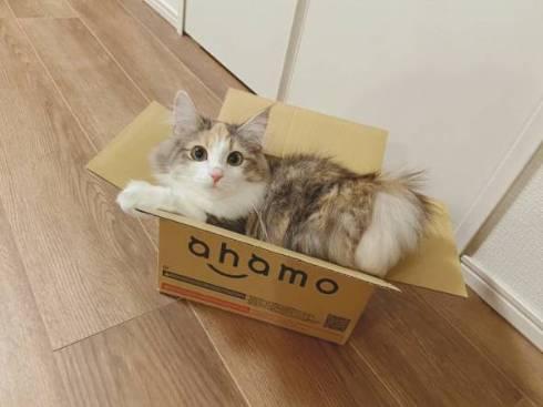 猫 ほたてちゃん 箱入りネコ