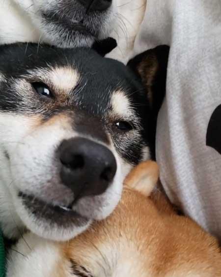 柴犬 3匹 ぎゅうぎゅう 寝姿 添い寝 お布団 だんご 姉妹