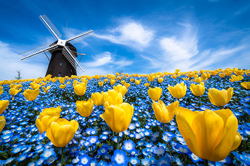 風車を背にしたチューリップとネモフィラ 青と黄色の花を撮影した写真が幻想的ですてき