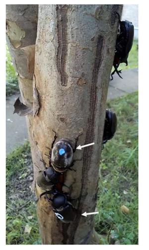 シマトネリコに集まるカブトムシ