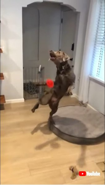 Clumsy Dog Jumps and Falls While Trying to Catch Toy - 1184092