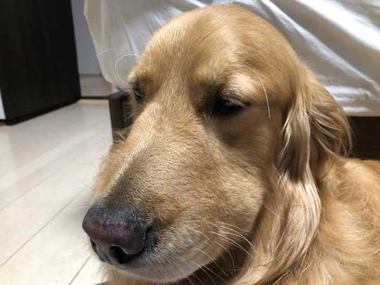 春 散歩 マムシ かまれた ゴールデンレトリバー 犬 注意喚起