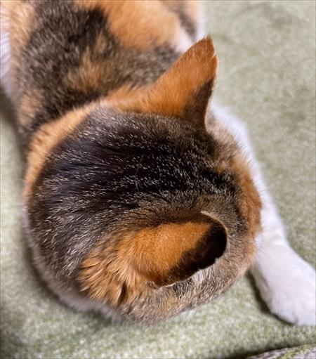 しっぽを抱っこする猫ちゃん