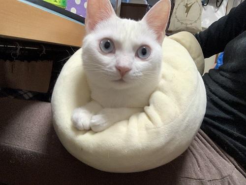 白猫の不思議なポーズ