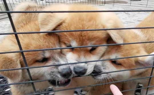 ケルベロス 秋田犬 子犬 秋田犬保存会 あきほ 秋田犬会館