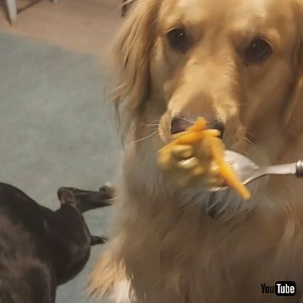 「Two-Year-Old Golden Retriever Needs to be Spoon Fed    ViralHog」