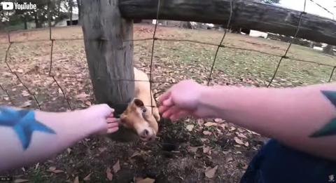 柵から頭が抜けなくなったヤギ