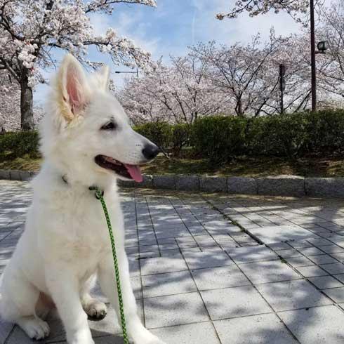 生後5カ月 犬 大きい デカい ホワイト・シェパード