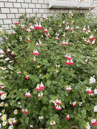 ミッフィーみたいなお花