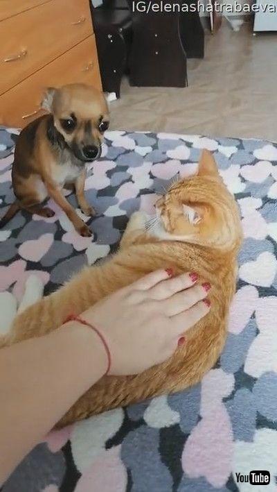 「Jealous Doggy Doesn't Like Cat Receiving Pats || ViralHog」