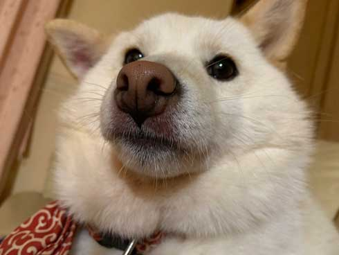 犬 おばあちゃん 抱っこ すぐ寝る 白柴 だいふく 寝顔 かわいい