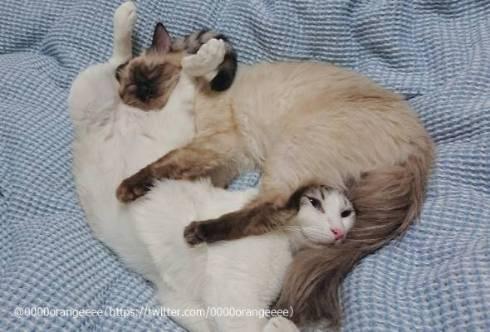 猫 アルカ君 カルト君 どういう寝方