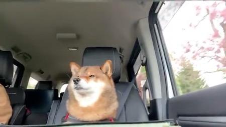 柴犬ドライブ