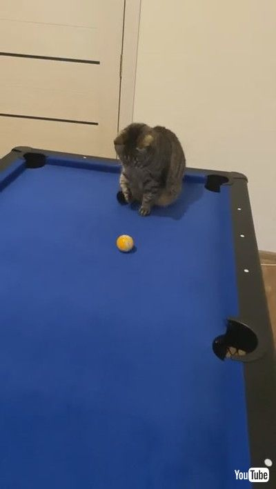 「Cute Kitty Shows off Some Billiard Skills    ViralHog」