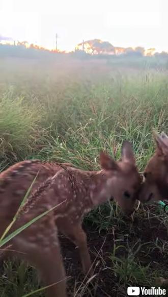 仲良く遊ぶ子鹿とワンコ