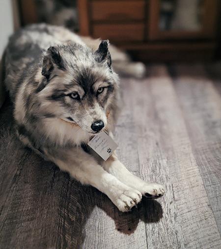 前足を伸ばすオオカミ