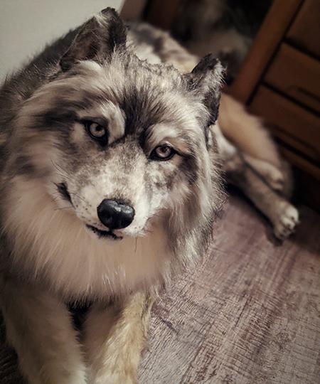 正面を向くオオカミ