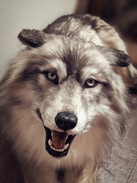 口を開けるオオカミ