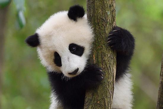 木登りをするジャイアントパンダの子ども