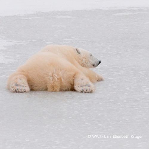氷に寝転がるホッキョクグマ
