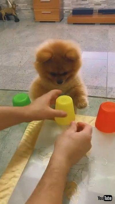 「Pomeranian Plays Cup Game || ViralHog」