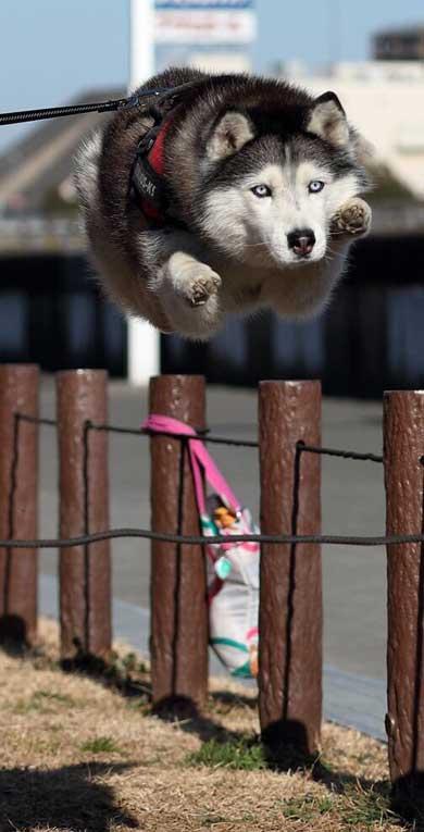 ハスキー ジャンプ 後ろ足 飛ぶ かわいい