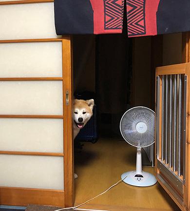秋田犬ぶん太さん