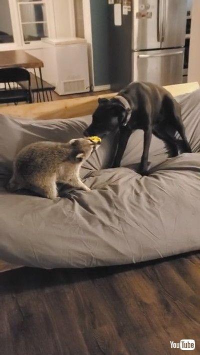 「Racoon Milo and Dog Jameson Play Together || ViralHog」