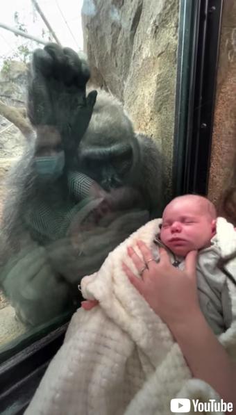 赤ちゃんに興味津々のゴリラ