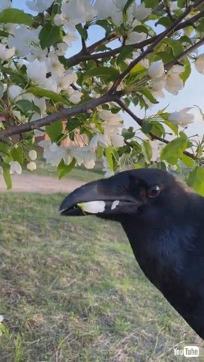 「Pet Raven Gently Gives Owner some Flowers    ViralHog」