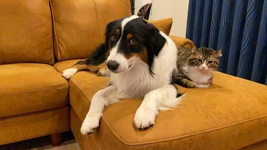 おかわり 諦めない 犬 オーストラリアンシェパード 猫 仲良し