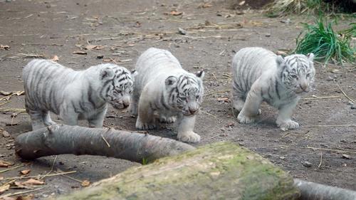 ホワイトタイガー三つ子ちゃん