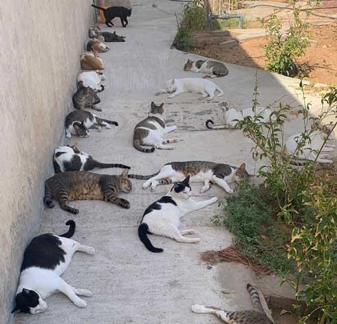 猫 集合 たくさん 日陰 アラブ首長国連邦 Al-Ain 砂漠 ガゼル