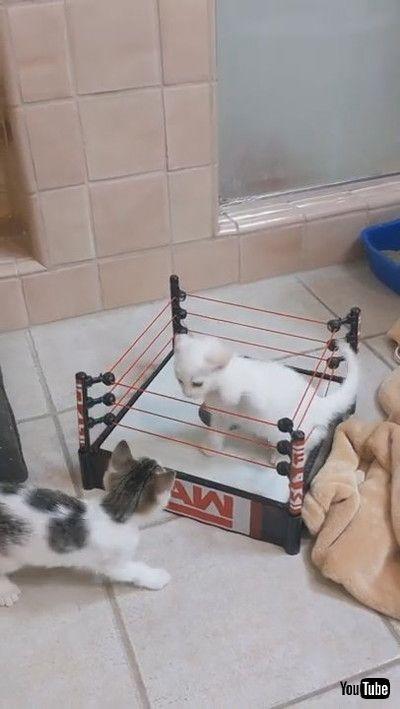 「Kittens Clash in Wrestling Ring    ViralHog」