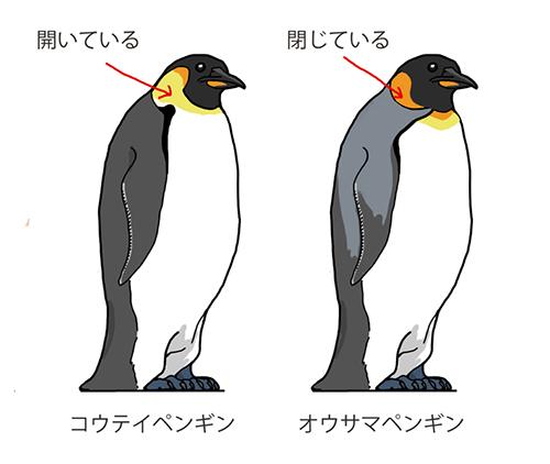 コウテイペンギンとオウサマペンギンの違い