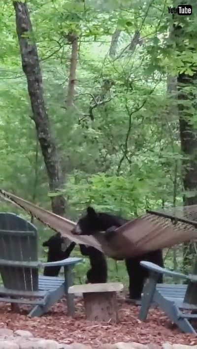 「Mama Bear and Her Cubs Play on Hammock || ViralHog」