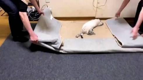 猫 つむぎちゃん お片付け どいてくれない