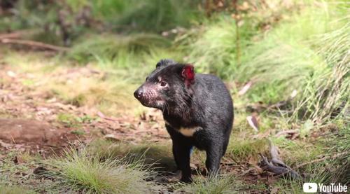 タスマニアデビルが自然繁殖