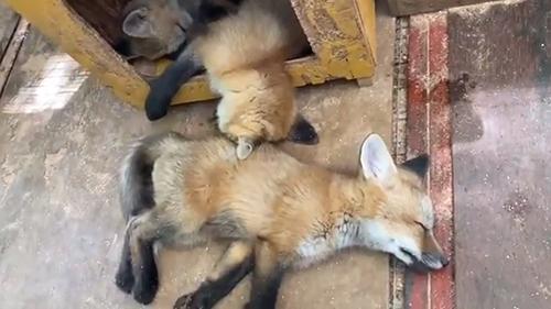 眠る子ギツネたち