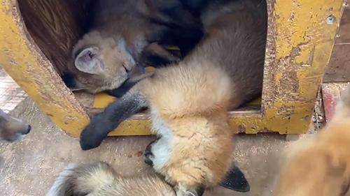 小屋で眠る子ギツネたち
