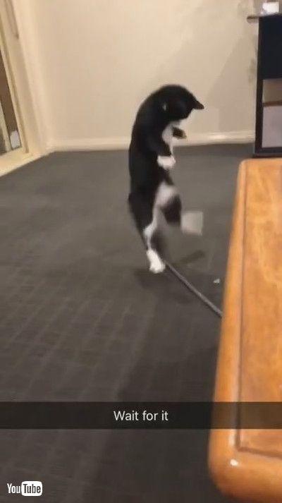「Silly Kitty Bounces Around Bug || ViralHog」