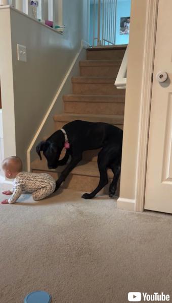 赤ちゃんを通せんぼするワンコ