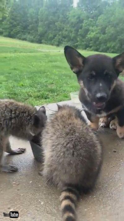 「Dog Shares Dinner with Wild Raccoons    ViralHog」