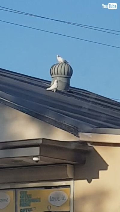 「Corellas Take A Twirl on Rooftop Whirlybirds || ViralHog」