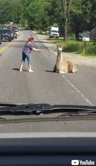 道路に居座るラマ